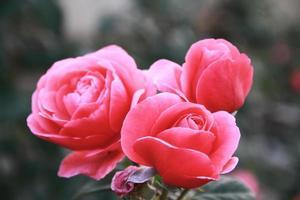 rozen in bloei foto