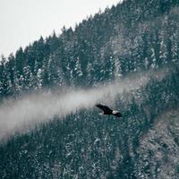 adelaar die over pijnbomen vliegt