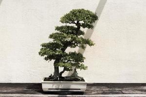 groene bonsaiboom foto