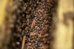 honingbij zwerm foto