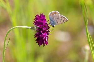 blauwe vlinder paarse bloem foto