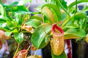close-up van een vleesetende plant