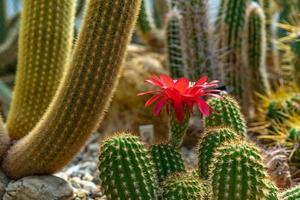 rode bloem op cactus foto