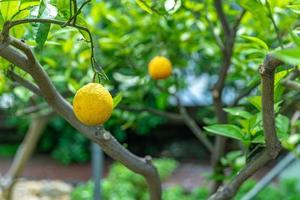 citroenen op boom foto