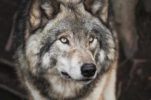 grijze en witte wolf foto