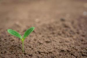 groene spruit groeit uit de grond foto