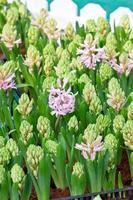 in de tuin groeien jonge hyacintbloemen. foto