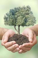 olijfboom in handen als een geschenk foto