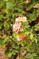 rozen en druiven foto