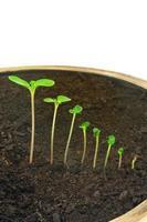 opeenvolging van impatiens balsamina bloem groeien, geïsoleerd, evolutie concept foto