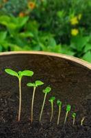 opeenvolging van impatiens balsamina bloementeelt, evolutie concept foto