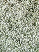 witte gypsophila foto