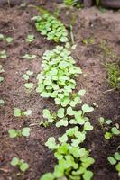 groene spruit groeit uit zaad