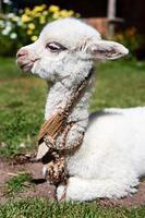 witte lama, chivay, peru foto