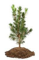 jonge sparren jonge boom foto