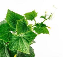 komkommerwijnstok, jonge plant groeit en ontwikkelt zich foto