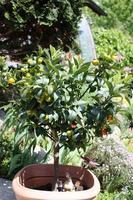 kumquatboom met fruit en bladeren in de tuin foto