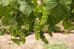 kleurenafbeelding van pinot noir druiven die zich aan de wijnstok ontwikkelen foto