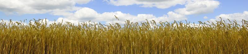 weizen veld