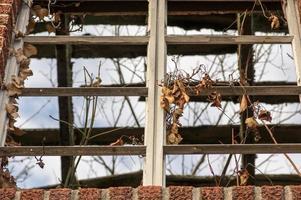 oud raam met wijnstokken die er doorheen groeien