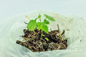 nieuwe hoop, groeiende plant in plastic zakken foto