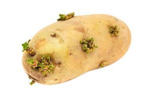 aardappel ontkiemt foto
