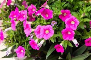 petunia hybrida vilm. foto