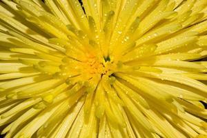 macro van gele chrysant