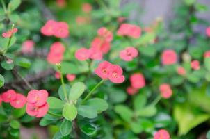 doornenkroon, christusdoorn, poi - sische bloemen foto