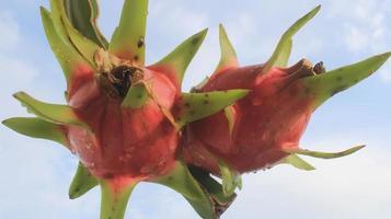 drakenfruit en de lucht foto