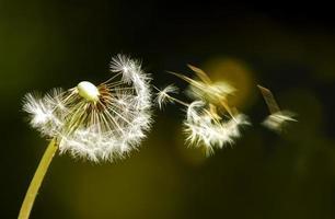 een witte paardenbloem waarvan de zaden in de wind waaien foto