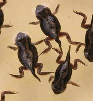 pad kikkervisjes ontwikkelen