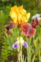 sultan gele en paarse iris foto