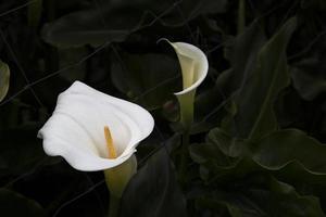 witte calla lelies foto