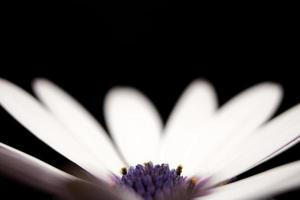 witte en paarse bloemblaadjes op zwart