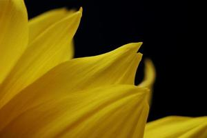 gele bloem op zwart foto