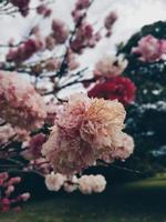 roze, witte en roodbloeiende bloemblaadjesbloemen foto