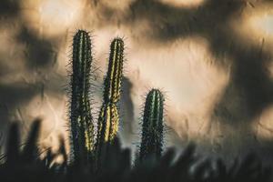 groene cactussen tegen witte muur foto