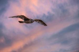 zeemeeuw tegen zonsonderganghemel foto
