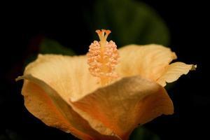 oranje bloembladen en stigma foto