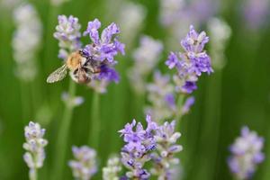 bij op een paarse bloem