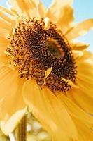 kleurrijke zonnebloem gevuld met bloemblaadjes