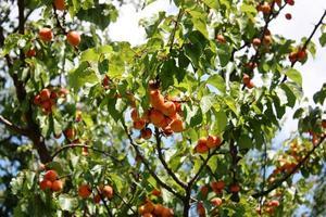 abrikozen in de boom onder bluse hemel foto