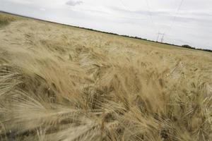 triticale veld