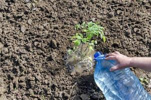 biologische landbouw van tomaat in groen huis foto