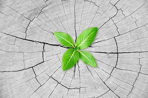 groene zaailing groeit uit boomstronk foto