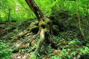 afbeelding van de wortels van de boom in het regenwoud foto