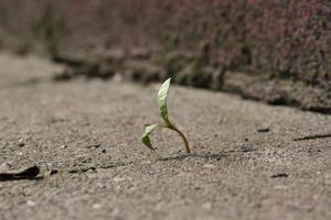 jonge plant groeit op in beton foto