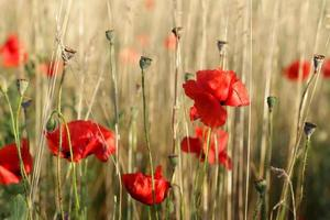 rode papavers in veld foto