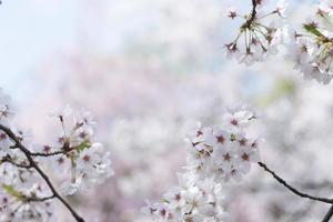 kersenbloesem afbeelding foto